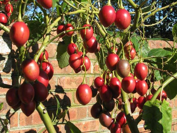 Fructul exotic Tamarillo (Tree Tomato)